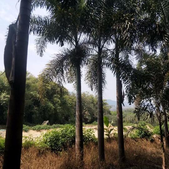 狐尾椰子 桿高4米狐尾椰子