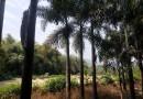 狐尾椰子 杆高4米狐尾椰子