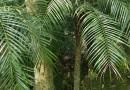 美丽针葵 棕榈树 杆高1米美丽针葵