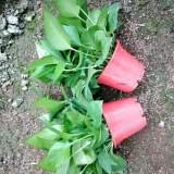 红高盆绿萝