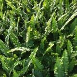 肾蕨   篦子草  蜈蚣草   高25cm肾蕨价格  肾蕨批发