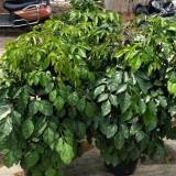 绿宝树  幸福树 高80cmx冠60cm绿宝树  绿宝树批发  绿宝树价格 幸福树价格