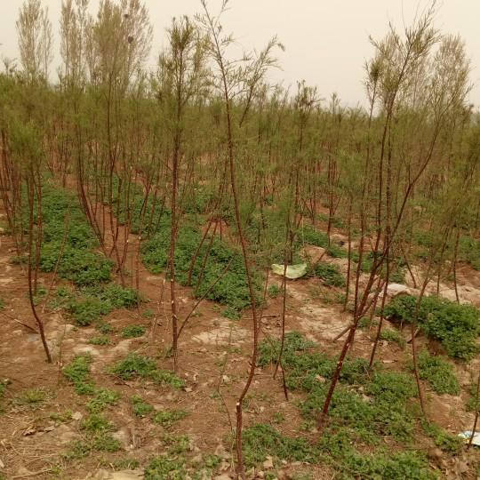 绿化盐松树苗
