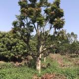 龙眼树  20公分龙眼树  龙眼树价格 桂圆树