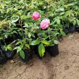月季花   月季花苗 高15cm月季苗价格