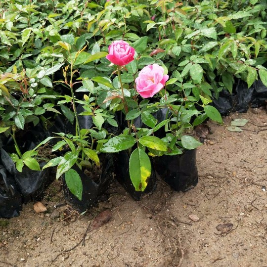 月季花   月季花苗 高15cm月季苗價格