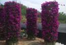 紫色三角梅柱  漳州紫色三角梅柱  高2.5米至3米   紫花三角梅柱
