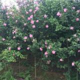 1.3米高红花木槿(独杆/丛生木槿)