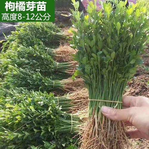 枳殼苗 籽播芽苗