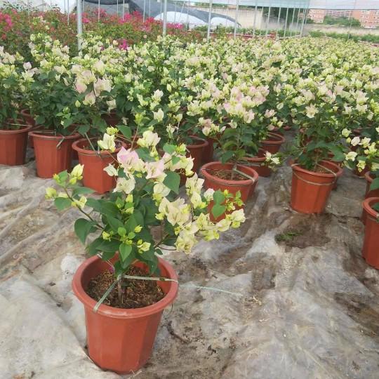 福建漳州樱花三角梅   高20m至30cm樱花三角梅    樱花三角梅盆栽