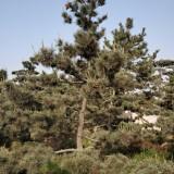 山东黑松怎么种植