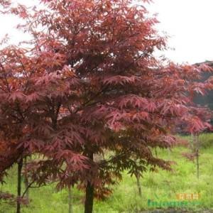 供应日本红枫大树