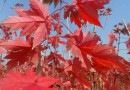 供应红枫大树,