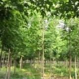 精品复叶槭