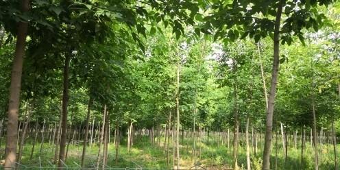 精品復葉槭