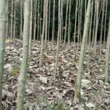 米经3公分马褂木m