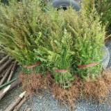 红豆杉小苗