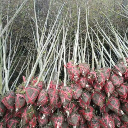 地径3公分枫香