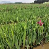 水生鸢尾 福建水生植物基地 鸢尾批发