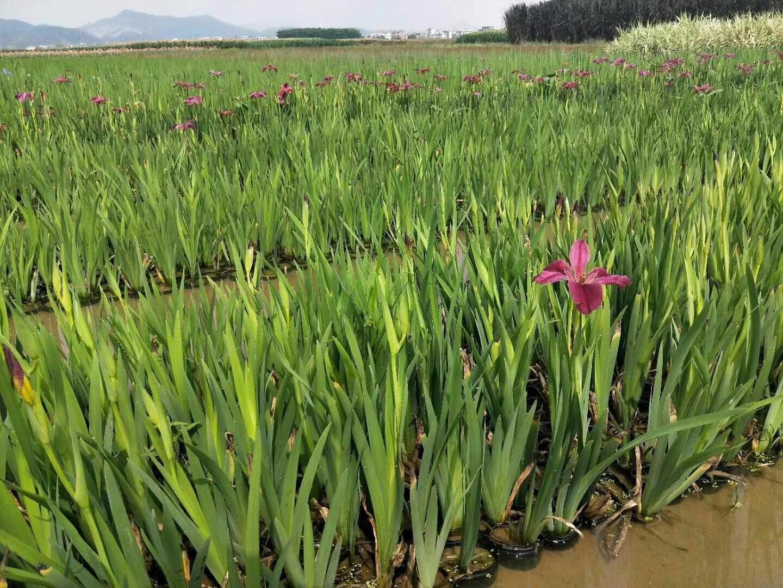 崂峪苔草新品种种苗繁育基地- - 淘金地