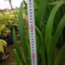 30公分高水生植物鸢尾  鸢尾批发 水生鸢尾 高30公分水生鸢尾  水生鸢尾价格