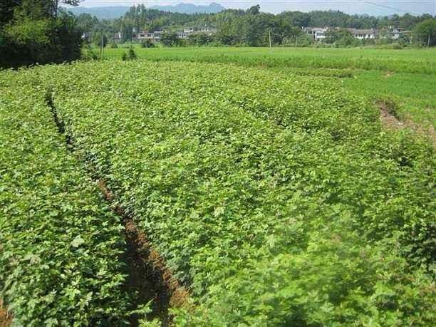 地徑1公分楓香