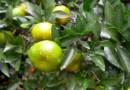 砂糖橘樹苗