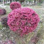 红花檵木球