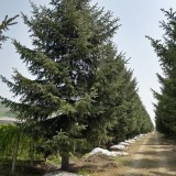 10米高云杉