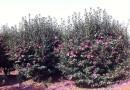 白榆 、构树、刺槐、法桐、柿树、枣树、山杏、山桃、梅李.