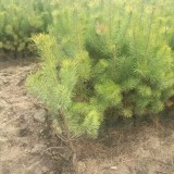 樟子松营养杯苗木