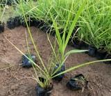 紫穗狼尾草   高20公分紫穗狼尾草价格  紫穗狼尾草批发