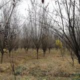 12公分红叶李价格表 红叶李树多少钱一棵