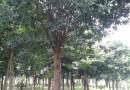 2米高红叶石楠柱
