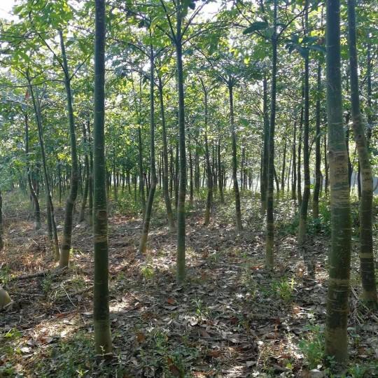 发财树,4--20厘米发财树