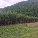樟子松2-4米占地苗
