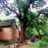 出售55公分皂角树