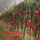 台湾红心火龙果苗