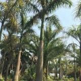 大王椰子 杆高7米 福建基地直销