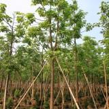 澳洲火焰木10-20地苗 袋苗批发