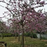 宫粉紫荆10公分地苗袋苗
