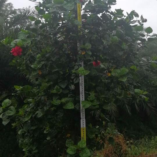 扶桑花  复瓣大红花  广东朱槿大红花  高1.5米扶桑花