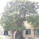 千年龙眼树