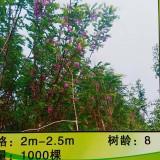 辽宁葫芦岛五七香花槐出售