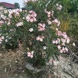 粉花夹竹桃  夹竹桃粉花1米-1.5米高