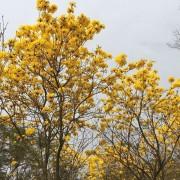 黄花风铃木(米径10公分)