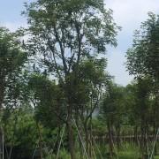 黄花风铃木(米径18公分)