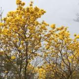 黄花风铃木(米径12公分)