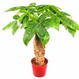小发财树植物独杆树桩绿植