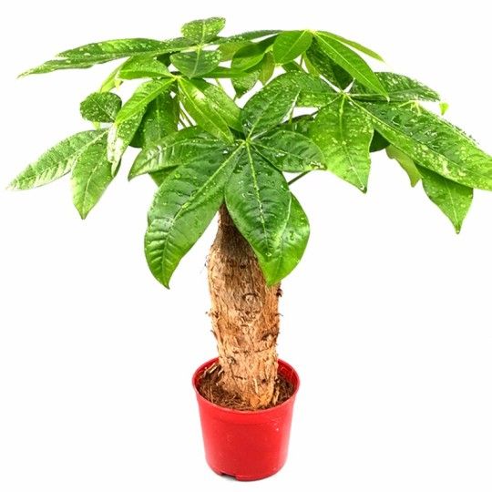 小现金开户赌场网的微博植物独杆树桩绿植